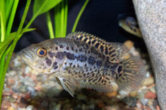 Pescados de Cichlid Fotografía de archivo