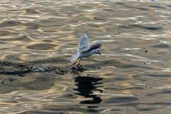 Pescados de cogida de la gaviota Fotos de archivo libres de regalías