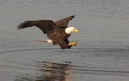 Pescados de cogida del águila Fotos de archivo