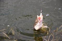 Pescados de cogida del lucio con los trastos Imagen de archivo