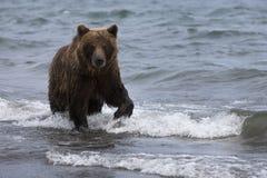 Pescados de cogida del oso de Brown en el lago Imagen de archivo libre de regalías