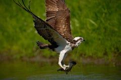 Pescados de cogida del OSPREY Pigargo del vuelo con los pescados Escena de la acción con el pigargo en el hábitat del agua de la  Imagen de archivo libre de regalías