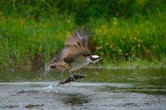 Pescados de cogida del OSPREY Pigargo del vuelo con los pescados Escena de la acción con el pigargo en el hábitat del agua de la  Fotos de archivo libres de regalías