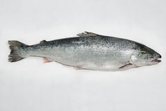 Pescados de color salmón Imágenes de archivo libres de regalías