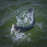 Pescados de color salmón cogidos de la trucha con salpicar en agua Fondo de la pesca del área Imagen de archivo