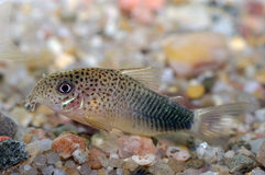 Pescados de Corydoras imagenes de archivo