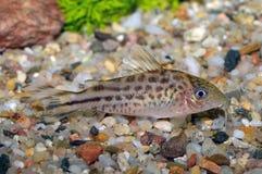 Pescados de Corydoras imagen de archivo libre de regalías