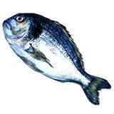 Pescados de Dorado en el fondo blanco stock de ilustración