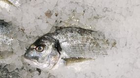 Pescados de Dorado en el hielo pescados frescos del sparus en la opinión de top del hielo fotografía de archivo