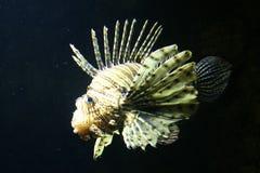 Pescados de escorpión Fotos de archivo libres de regalías
