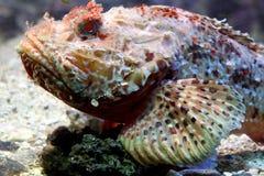 Pescados de escorpión 5 Fotos de archivo libres de regalías