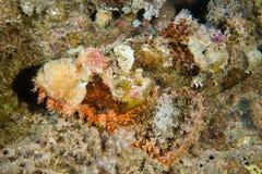 Pescados de escorpión camuflados venenosos fotos de archivo