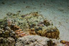 Pescados de escorpión camuflados venenosos fotografía de archivo libre de regalías
