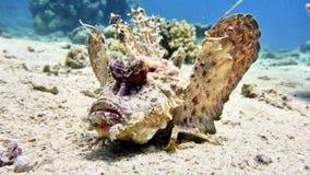 Pescados de escorpión en el Mar Rojo Fotos de archivo libres de regalías