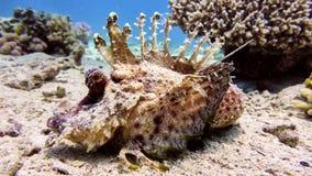 Pescados de escorpión en el Mar Rojo Imagenes de archivo