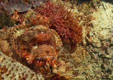 Pescados de escorpión que tienen un resto Fotografía de archivo libre de regalías