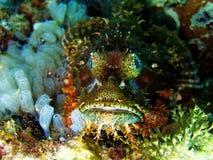 Pescados de escorpión venenosos fotografía de archivo