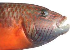 Pescados de Grupper con la boca abierta Fotos de archivo