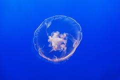 Pescados de jalea en el mar azul Fotos de archivo libres de regalías