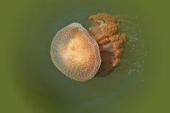 Pescados de jalea gigantes Foto de archivo libre de regalías