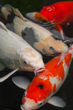 Pescados de Koi Foto de archivo