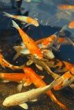 Pescados de Koi Foto de archivo libre de regalías