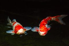 Pescados de Koi Imagenes de archivo