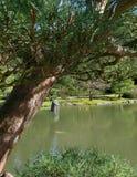 Pescados de Koi bajo pinos Imagenes de archivo