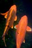 Pescados de Koi Carp Foto de archivo libre de regalías