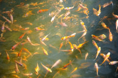Pescados de Koi del bebé Imagen de archivo