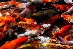 Pescados de Koi en la charca foto de archivo