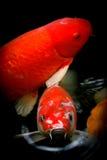 Pescados de Koi en la charca Imagen de archivo libre de regalías