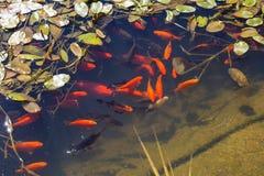 Pescados de Koi en una charca Foto de archivo libre de regalías