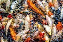 Pescados de Koi en una charca/un río Imagen de archivo libre de regalías