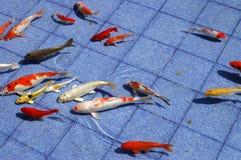 Pescados de Koi en una piscina azul Imagen de archivo libre de regalías