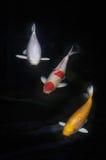 Pescados de Koi o pescados de la carpa fotografía de archivo
