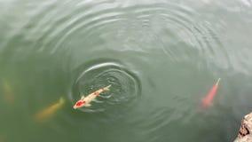 Pescados de KOI que nadan libremente en el agua metrajes