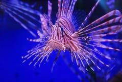 Pescados de la belleza Fotografía de archivo libre de regalías