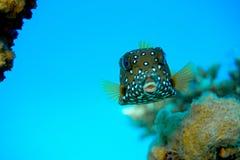 Pescados de la caja de Spoted Fotos de archivo libres de regalías