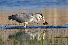 Pescados de la captura dos de Grey Heron pequeños foto de archivo