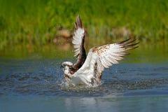 Pescados de la captura de Osprey Pigargo del vuelo con los pescados Escena de la acción con el pájaro en el hábitat del agua de l Fotos de archivo