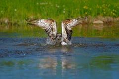Pescados de la captura de Osprey Pigargo del vuelo con los pescados Escena de la acción con el pájaro, hábitat del agua de la nat Fotografía de archivo libre de regalías