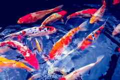 Pescados de la carpa de Koi Fotos de archivo libres de regalías