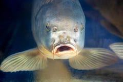 Pescados de la carpa en agua del ubder del acuario o del depósito Foto de archivo libre de regalías