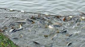 Pescados de la carpa en la charca almacen de metraje de vídeo