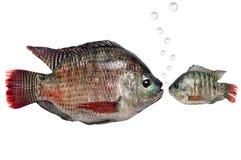 Pescados de la carpa grandes y pequeños Foto de archivo libre de regalías