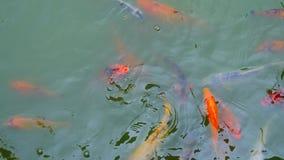 Pescados de la carpa de Koi en la charca almacen de video