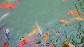 Pescados de la carpa de Koi en la charca almacen de metraje de vídeo