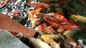 Pescados de la carpa que chupan la comida de la botella metrajes