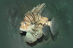 Pescados de la cebra Fotografía de archivo libre de regalías